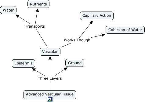 Vascular Plants Diagram Plant Tissue Diagram
