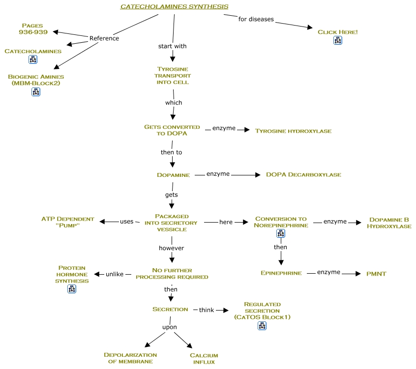 protein synthesis concept map with 13a  20catecholamine 20synthesis on Simple Protein Concept Map Biology additionally Central Dogma in addition Selective Breeding Flowchart further 13a  20Catecholamine 20Synthesis together with 2197 cotranslational protein labeling.