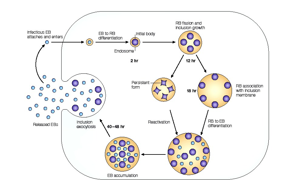 """an experiment on the rate of reproduction of bacterias By measuring the rate of cell population increase over time, a """"growth curve"""" to  be  bacterial reproduction occurs via binary fission, in which one bacterial cell   following a serial dilution plating experiment, the following data was obtained."""