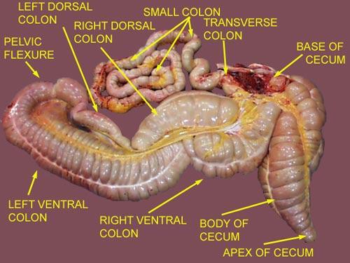 Horse intestine anatomy